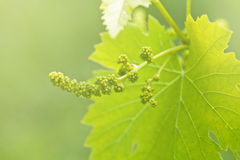 Grape leaves background Royalty Free Stock Photo