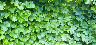 Grape leaves background. Vineyard pattern. Nature texture.  Royalty Free Stock Photo