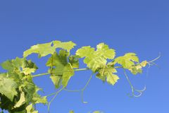 Grape leaves bathing in the sun with blue sky- travel to European wine country!. Close up of leaves at a vineyard. Travel to Europe always includes a wine tour stock photography