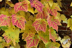 Grape leaves. Beautiful colorful autumn you to rest in the summer, take a picnic with friends or family on green grass, blue sky, warm, nice sunny weather Royalty Free Stock Image