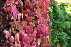 Grape leaves. Beautiful colorful autumn you to rest in the summer, take a picnic with friends or family on green grass, blue sky, warm, nice sunny weather Royalty Free Stock Photos