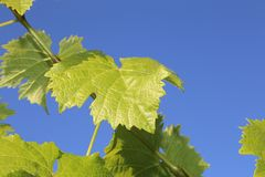 Grape leaves with blue sky- travel to European wine country!. Close up of leaves at a vineyard. Travel to Europe always includes a wine tour and the famous wine royalty free stock photography