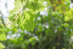 Grape leaves blurred background royalty free stock images