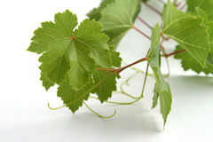 Grape leaves. Branch with grape leaves Stock Photo