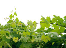 Grape leaves on a branch Royalty Free Stock Images