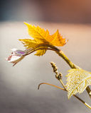 Grape leaves on a branch Stock Images