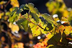 Grape Leaves on a Branch royalty free stock photo