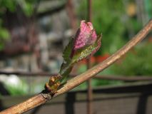 Grape leaves on a branch, selective focus, shallow dof. Young grape leaves on a branch, selective focus, shallow dof stock image