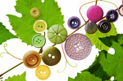 Grape leaves and buttons on a white background Stock Photo