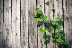 Grape leaves. Climbing up the wood board Stock Photography