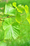 Grape leaves, close up Stock Photos