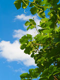 Grape leaves and cloud Royalty Free Stock Photography