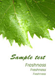 Grape leaves with drops - card 2 Stock Photos
