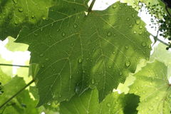Grape leaves with drops of water after rain Stock Images