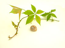 Grape leaves with escargot Stock Image