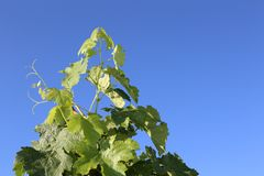 Grape leaves facing the sun with blue sky- travel to European wine country!. Close up of leaves at a vineyard. Travel to Europe always includes a wine tour and stock photography