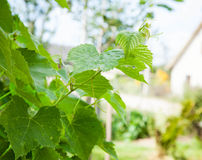Grape leaves in the garden Stock Image