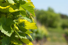 Grape leaves. Green background with grape leaves Stock Photography