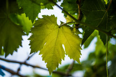 Grape leaves green Stock Photo