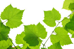 Grape leaves isolated on white Stock Images