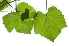 Grape leaves isolated on white Stock Photo