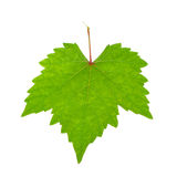 Grape leaves isolated on white background Royalty Free Stock Photography