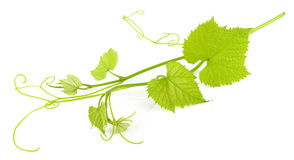 Grape leaves isolated stock images