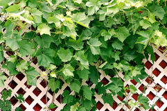 Grape Leaves on Lattice. Background Stock Images