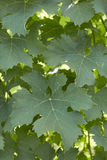 Grape leaves 3 Royalty Free Stock Photos