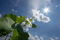 Grape leaves looking at the sun. Grape tree growing up to the sun Royalty Free Stock Photo