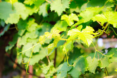 Grape leaves. In the nature garden Stock Photos