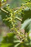 Grape leaves over defocused background of grapevine. Macro Royalty Free Stock Photography