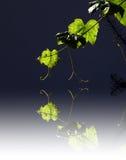 Grape Leaves Stock Photos