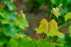Grape leaves, plantation on Corfu Royalty Free Stock Images