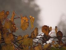 Grape leaves pulling on the fence royalty free stock photo