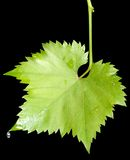 Grape leaves with the raindrops isolated Stock Images