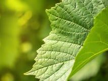 Grape leaves shape of grape vine texture. Grape leaves shape of grape vine plant texture toned Stock Images