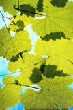 Grape Leaves on Sky Background Stock Photos