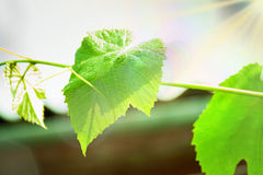 Grape leaves in the sun. Nature background Stock Image