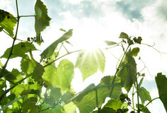 Grape leaves in the sun. Nature background Royalty Free Stock Photos