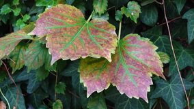 Grape leaves stock video footage
