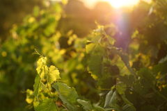 Grape leaves in sunset. Sun shining through grapevine leaves Stock Images