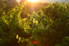 Grape leaves in sunset. Sun shining through grapevine leaves Royalty Free Stock Image