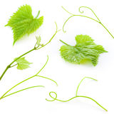 Grape leaves and tendrils isolated on white. Collection Royalty Free Stock Photo
