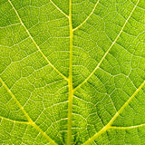 Grape leaves texture leaf background macro green light closeup. Grape leaves texture leaf background  green under sunlight macro closeup Stock Photos