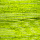 Grape leaves texture leaf background macro green light closeup. Grape leaves texture leaf background  green under sunlight macro closeup Royalty Free Stock Images
