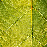 Grape leaves texture leaf background macro green light closeup. Grape leaves texture leaf background  green under sunlight macro closeup Royalty Free Stock Photography