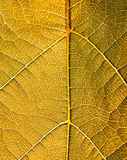 Grape leaves texture leaf background macro green light closeup. Grape leaves texture leaf background  green under sunlight macro closeup Royalty Free Stock Image