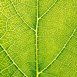 Grape leaves texture leaf background macro green light closeup. Grape leaves texture leaf background  green under sunlight macro closeup Stock Image