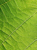 Grape leaves texture leaf background macro green light closeup. Grape leaves texture leaf background  green under sunlight macro closeup Royalty Free Stock Photos